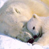 icon-polarbear