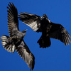 icon-raven